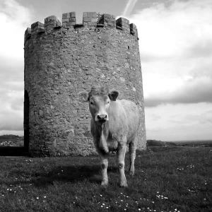 Cow and Castle