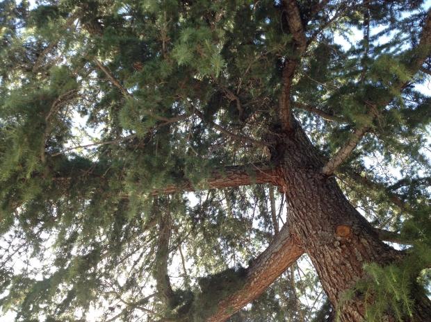 towering pine