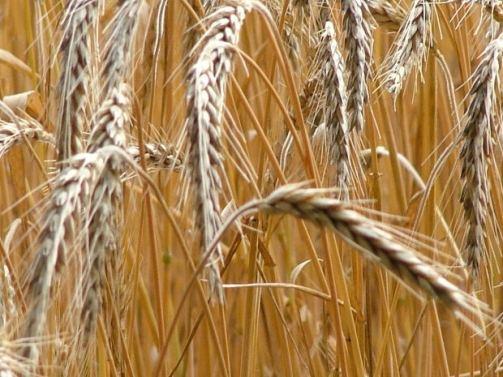 wheat-field