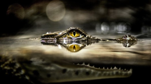 crocodile_above_the_water_044013_