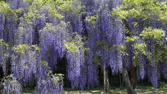 wisteria-vine-wall-wallpaper-1