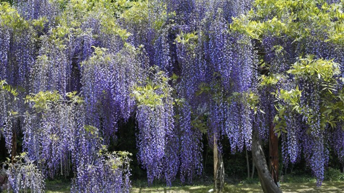 wisteria-vine-wall-wallpaper-1