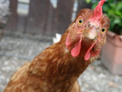 Chicken with attitude