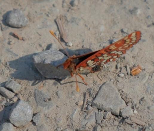 Butterfly Fuzz 3