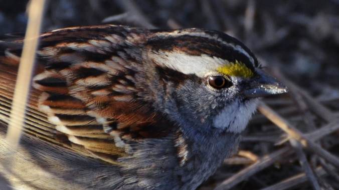 White-throated_Sparrow_Audubon