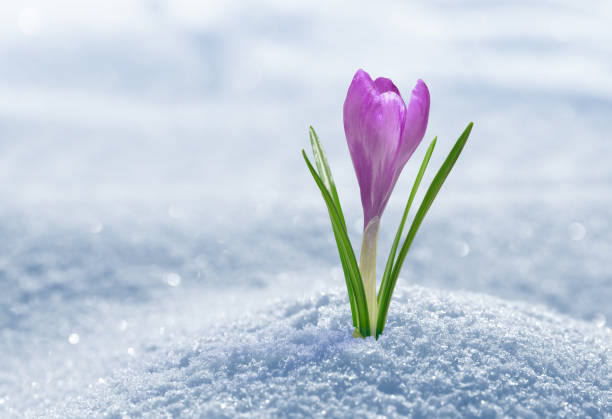 Crocus in snow, purple spring flower.
